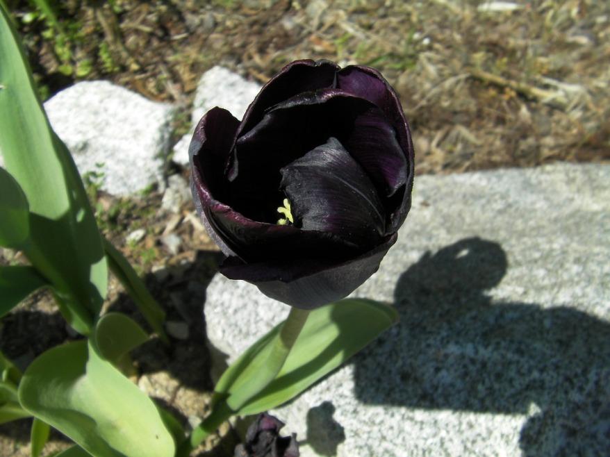 tulip-383719_960_720